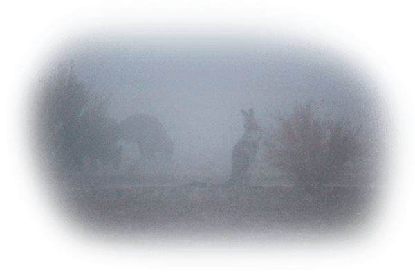 Kangaroos in the mist 2
